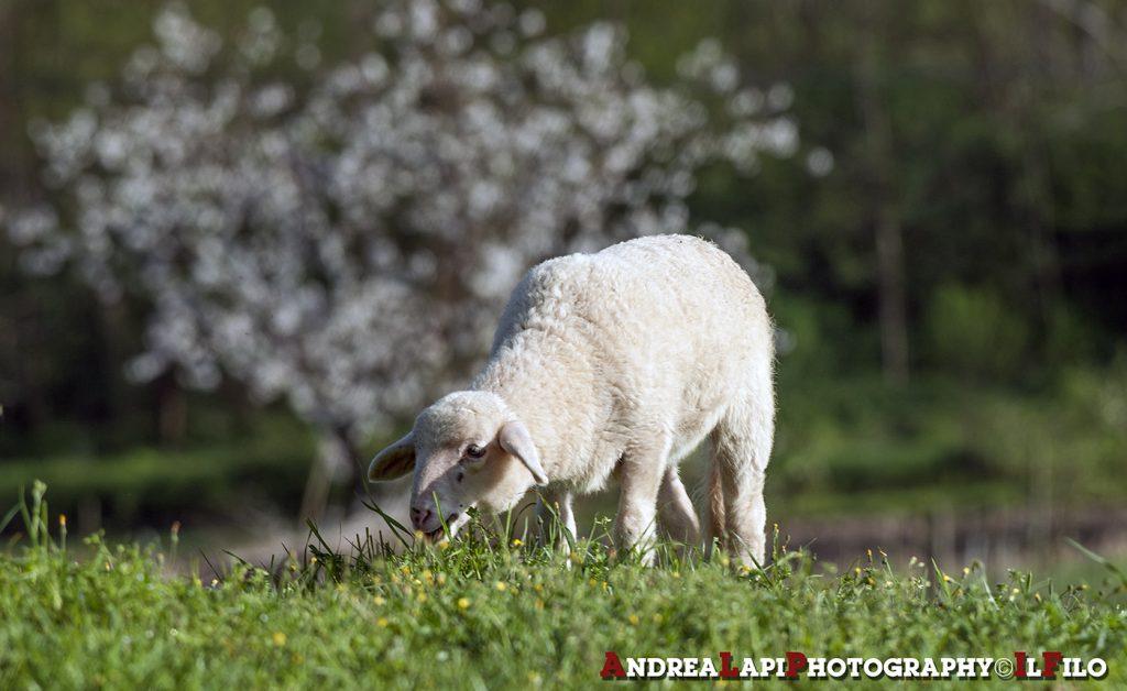 agnello al meriggio